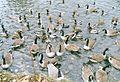 Feeding time at stourbridge park - panoramio.jpg