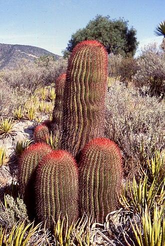 Storage organ - Ferocactus pilosus (Mexican lime cactus), a stem succulent