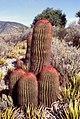 Ferocactus pilosus1.jpg