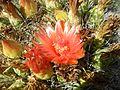 Ferocactus wislizeni (6541013073).jpg