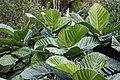 Ficus-dammaropsis-01.jpg