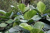 Ficus-dammaropsis-01