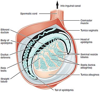 Testicle Internal organ in the male reproductive system