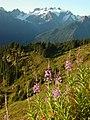 Fireweed Alpine wildflowers pink scenic mountains summer NPS Photo 2001 (17297578656).jpg