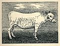 Fjäll cow, from The Evolution of British Cattle and the Fashioning of Breeds, by James Wilson; London, Vinton & Company, 1909.jpeg