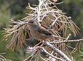 Fledgeling Dartford Warbler. Sylvia undata - Flickr - gailhampshire.jpg