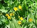 Fleurs sur le Vitocha 1.jpg