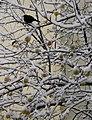 Flickr - Per Ola Wiberg ~ mostly away - apples and a blackbird.jpg