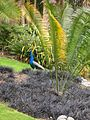 Flickr - brewbooks - Peacock and cycad.jpg