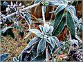Flickr - ronsaunders47 - FROZEN LEAVES 1.jpg