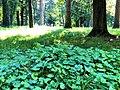 Flora në Parkun e qytetit.jpg