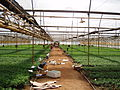 Flower farm around Kampala (4332276508).jpg