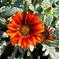 Flowering Gazania in Thailand.jpg