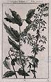 Flowering stems of the indigo plant (Indigofera tinctorum) a Wellcome V0043075EL.jpg