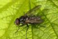 Fluer (Brachycera) (9233393518).png