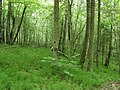 Forest of Pokaiņi - panoramio.jpg