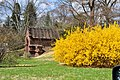 Forsythia in Bloom in Spring Grove Cemetery, Cincinnati, Ohio.jpg