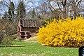 Forsythia in Bloom in Spring Grove Cemetery, Cincinnati, Ohio.jpg