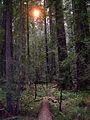 Founders Grove, Humboldt Redwoods State Park - Coast Redwood (Sequoia sempervirens) - Flickr - Jay Sturner (1).jpg