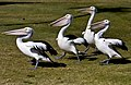 Four Hungry Pelicans at Clontarf-1and (3812601745).jpg