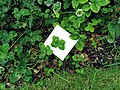 Four leaved clover.jpg