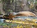Fowl from Mysore zoo IMG 7904.jpg