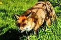 Fox - British Wildlife Centre (18352163425).jpg