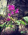 Frühlings-Platterbse1.jpg