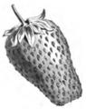 Fraise Wonderfull Vilmorin-Andrieux 1883.png