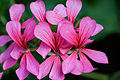 France-001477 - Pink Beauty... (15259311887).jpg