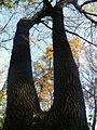 Fraxinus angustifolia (10).JPG