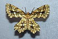 Fritillerinnys clathraria (Geometridae- Ennominae) (4185132172).jpg