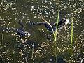 Frogs (3496273878).jpg