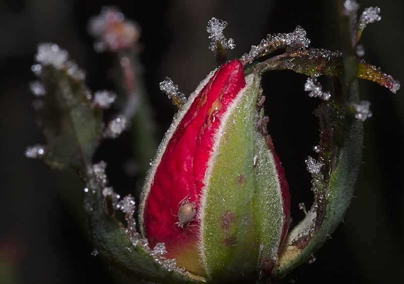 File:Frozen aphids on a rosebud (31999248032).jpg