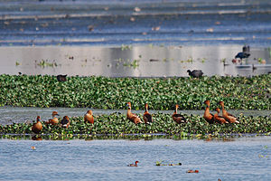 Pallikaranai wetland - Rare fulvous whistling ducks at Pallikaranai marsh