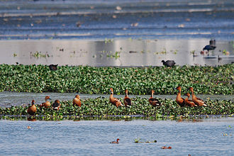 Fulvous whistling duck - A flock at Pallikaranai wetland, India