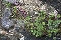 Fumaria officinalis-1061.jpg