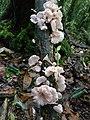 Fungi, Mawphlang sacred forest.jpg
