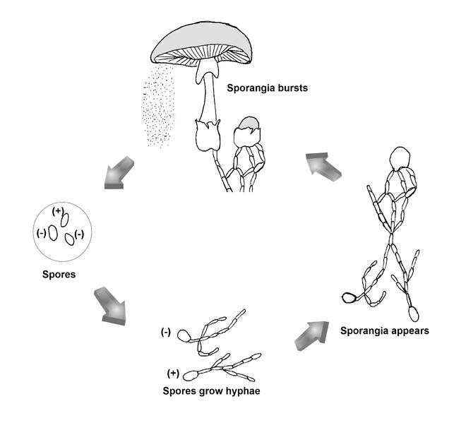 File:Fungi Reproduction.png