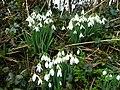 Galanthus nivalis - common snowdrop - geograph.org.uk - 1165877.jpg