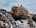Galapagos Iguana -1 (46542778922).jpg