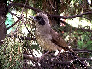 Masked laughingthrush species of bird
