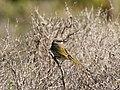 Gavicalis virescens (30790129978).jpg