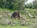 Gelada Baboon, Ethiopia - panoramio.jpg