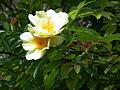 Gelbe Kulturrose mit einfachen Blüten.JPG
