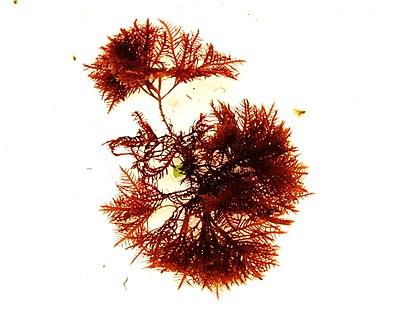 Gelidium latifolium.jpg