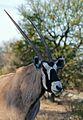 Gemsbok (Oryx gazella) (31762732724).jpg