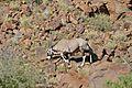 Gemsbok (Oryx gazella) (32610927242).jpg