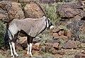 Gemsbok (Oryx gazella) male ... (50166635111).jpg