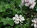Geranium Double ivy from Lalbagh flower show Aug 2013 7903.JPG